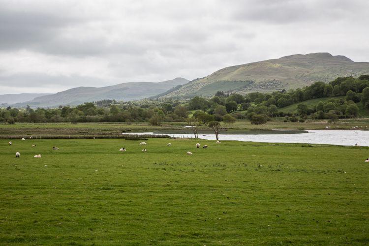 Blick vom Parkplatz auf die Landschaft hinter dem Glencar Lough. Schafe. Schon wieder.