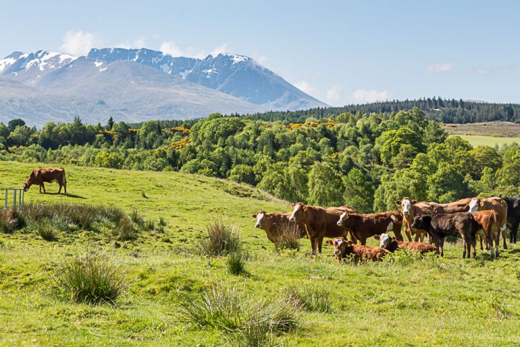 Rindviecher-Idylle in Schottland